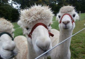 Alpaca School Trip